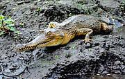 The African slender-snouted crocodile Photo: John Thorbjarnarson