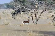 Dama Gazelle Nanger dama (CR) in the Manga, Chad Photo: John Newby / Sahara Conservation Fund