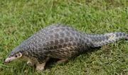 The Chinese pangolin, listed as Critically Endangered on the IUCN Red List. Photo: Cuc Phuong