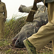 Park rangers with a rhino that has been poached for its horn (Photo: Steve Winter)