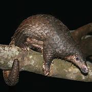 Sunda pangolin (Manis javanica) Photo: Daniel W.S. Challender