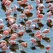 Lesser flamingos  Photo: IUCN Geoffroy Mauvais