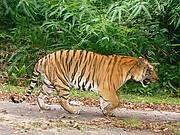 Community participation in patrolling Malaysian tiger habitat Photo: Kae Kawanashi