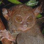 Philippine tarsier Photo: Russell A. Mittermeier