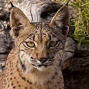 Iberian Lynx (Lynx pardinus) Threat category: ENDANGERED Photo: Antonio Ribas / Iberian Lynx Ex-situ Conservation Programme