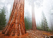 Sequoia. Photo: Shutterstock / Galyna Andrushko.