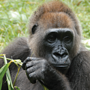 Cross River Gorilla Photo: Nicky Lankester
