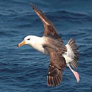 Campbell Island Albatross (Thalassarche impavida) Photo: Ben Lascelles