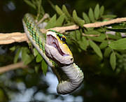 Leptophis mexicanus. Photo: Philip Bowles