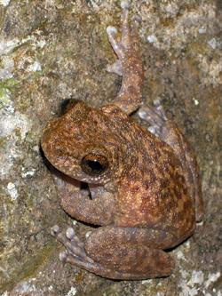 Torrent Tree Frog