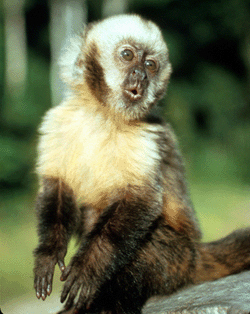 Yellow-breasted Capuchin