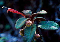 Centropogon erythraeus
