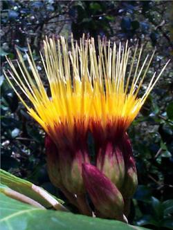 Maui Hesperomannia