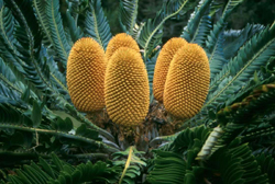 Wood's Cycad