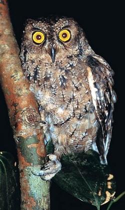 Seychelles Scops-owl