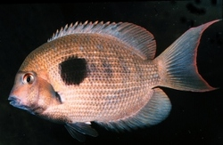 Damba Mipentina