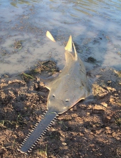 Largetooth Sawfish