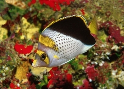Yellow Crowned Butterflyfish