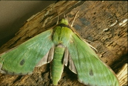 Fabulous Green Sphinx Moth