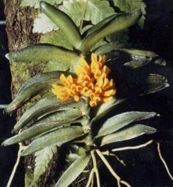 Ossiculum aurantiacum