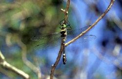 Shining Macromia Dragonfly