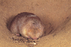 Julianas Golden Mole