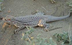 Coachella Valley Fringe-toed Lizard