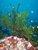 Galápagos Kelp
