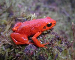 Black-eared Mantella