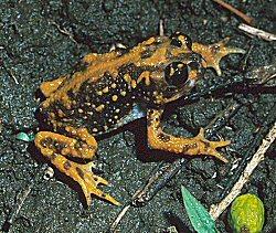 Holdridge's Toad