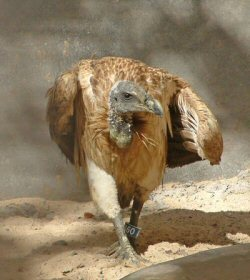 Slender-billed Vulture