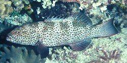 Squaretail Coral Grouper