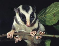 Fergusson Island Striped Possum