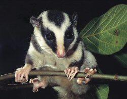 Fergusson Island Striped Possum