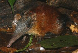 Grey-Faced Sengi