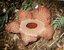 Rafflesia magnifica