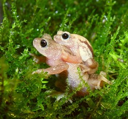 Kihansi Spray Toad_Nectophrynoides asperginis