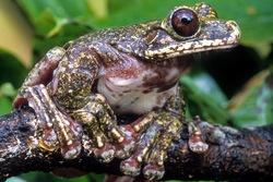 Rabbs Fringe-limbed Treefrog_Ecnomiohyla rabborum