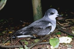 Chatham Petrel_Pterodroma axillaris