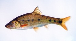Golden Line Fish_Sinocyclocheilus grahami