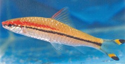 Red Line Torpedo Barb_Puntius denisonii