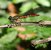 Giant Jewel_Africocypha centripunctata