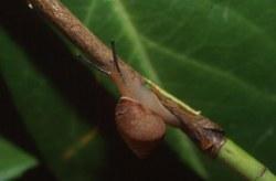 Pachnodus fregatensis