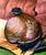 Stylodonta unidentata