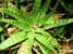 Aloe kilifiensis