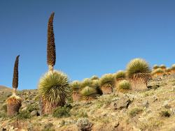 Queen of the Andes_Puya raimondii