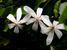 Toussaintia orientalis