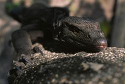 Panay Monitor Lizard_Varanus mabitang