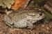 Amatola Toad_Vandijkophrynus amatolicus