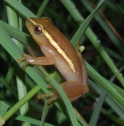 Pickersgill's Reed Frog_Hyperolius pickersgilli